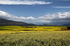 Yellow canola fields in the Overberg, Western Cape, South Africa