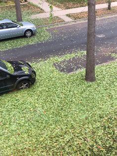 Новая реальность: из-за резких перепадов температуры листья на деревьях теперь почти не желтеют, а опадают зелеными всего за сутки... :leaves::fallen_leaf::snowflake: Дерево Гинкго, Миннеаполис, Миннесота, США. 01 ноября 2017 г. заходим срочно в CCSshop.ru и утепляемся👕- ссылка в профиле👆👆👆  #гинкго #миннесота #листья🍁#листьяпадают #листьяподногами#листьяосени#осени#осенние #свитшоткупить #худискапюшоном #толстовканазаказ#толстовкамечты #толстовкироссии #толстовкаспринтом…