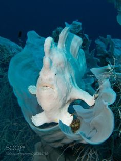LIFE UNDER THE WAVES, white giant frogfish by thomaskneisch white giant...