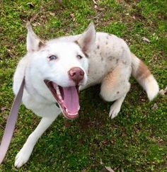 ZINI is an adoptable Husky searching for a forever family near Powder Springs, GA. Use Petfinder to find adoptable pets in your area. Unique Dog Breeds, Rare Dog Breeds, Popular Dog Breeds, Aussie Mix, Border Collie Mix, Husky Mix, Fur Babies, Goats, Powder Springs