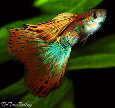 Guppies - Including Fancy, Show, and Super Guppies.