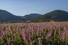 Salvia sclarea est surtout remarquable pour ses propriétés médicinales qui lui ont valu son appellation de sauge « toute bonne ».
