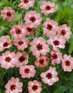 Cinquetoil (Potentilla): Maternal love OR beloved daughter Pink Garden, Dream Garden, Outdoor Plants, Garden Plants, Plants Delivered, Garden Illustration, Plantation, Ficus, Trees And Shrubs