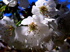 Flores de al mendro