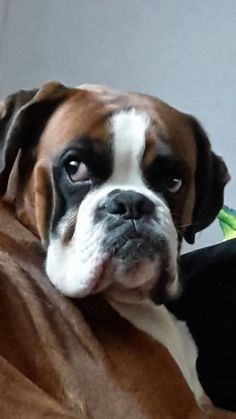 """terrific ideas on """"boxer pups"""". They are offered for you on our web site.Acquire terrific ideas on """"boxer pups"""". They are offered for you on our web site. Boxer Breed, Boxer Puppies, Dogs And Puppies, Doggies, Small Puppies, Boxer And Baby, Boxer Love, I Love Dogs, Cute Dogs"""