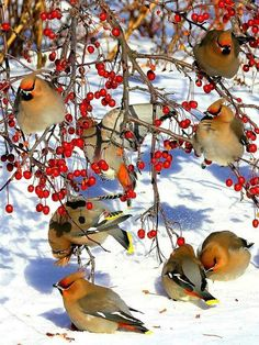 Waxwings! Love them!! :)