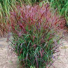 'Prairie Fire' red switchgrass. Latin name: Panicum virgatum 'Prairie Fire.' Zone 5-9