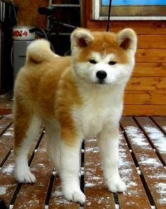 Japanese Akita:  He was bred to hunt big game such as bear, boar and elk. He can weigh upwards of 115 pounds, or even more.