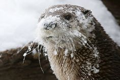 Biologists at the Aquarium of the Bay in San Francisco have up'd the bar on otter enrichment. They've given the otters a snow day and it couldn't be cuter! River Otter, Sea Otter, River Monsters, Otter Love, Baby Otters, Monterey Bay Aquarium, Cute Animal Videos, Photos Of The Week, Pet Health