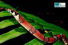 Dendrelaphis sinharajensis – a canopy-dwelling species of snake.  #BiodiversityConservation #DilmahConservation #SaveBiodiversity #ProtectBiodiversity