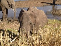 Elephant, very close, at Tarangire NP