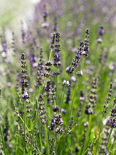 A strongly scented selection, 'Impress Purple' produces spikes of purple flowers in mid- to late summer: http://www.bhg.com/gardening/flowers/perennials/gardeners-guide-to-lavender/?socsrc=bhgpin022115lavandin&page=21