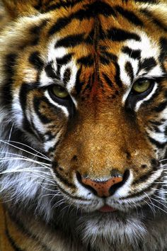 There are currently only 400 Sumatran tigers left in the wild, putting them at extremely high risk of going extinct.