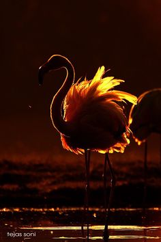 flamingo in the sunset