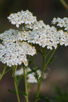 Wildflower Farm: White Yarrow | Achillea millefolium wildflowers    I love yarrow; I definitely want this in my yard.