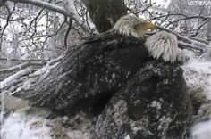 Decorah Eagles protecting their young eaglets during an April snow storm. What dedication!!!