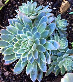 Echeveria Violet Queen by Katie Cuthel