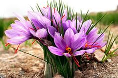(early spring)Saffron plant growing corm of the genus Crocus, also known as Saffron plant crocus, Saffron plant perennial deciduous in the summer also used as ornamental fragrant plants. Grow in mediterranean clima Saffron Plant, Saffron Crocus, Saffron Flower, Saffron Benefits, Spanish Saffron, Saffron Spice, Homestead Gardens, Fall Plants, Edible Flowers