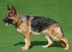 Deutscher Schäferhund Der DSH - Zwinger vom Kondor verkauft eine Hündin aus HD/ED freier Zucht. Schauen Sie auf unsere Homepage www.vom-kondor.de Tel. 0174/3232807