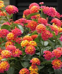 Lantana Hanging Basket Adorable Lantana Hanging Basket  Flower Power  Pinterest  Gardens Plants Design Ideas