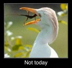 Funny Egret Lizard Not Today Meme