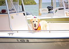 #golden-retreiver-on-#cabbage-key-boat. Such beautiful eyes!