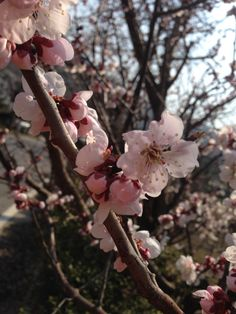 Blossoms(2014) - Blossom - Wikipedia, the free encyclopedia