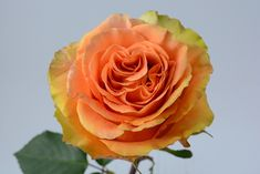 """Peach X-Pression"" garden rose Seasonal Flowers, All Flowers, Floral Design, Fragrance, Roses, Peach, Colorful, Garden, Plants"