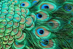 I'm really into Peacock Feathers, yes my style hippy, bohemian chic, shades of turquoise and teal green.