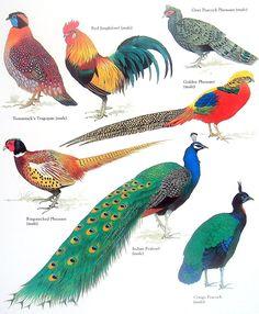 Bird Print - Pheasant, Peafowl, Peacock Vintage