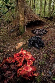 National Geographic Bowerbirds | Piles of acorns, black fungi and pandanus flowers make up another ...