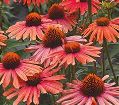 "Echinacea Mama Mia A lively combination of vibrant red-orange, coral, and pink petals surrounding a bronzy orange cone. The 3-4"" fragrant flower heads last up to two weeks and make excellent cut flowers. Rated among the top ten perennials in trials at the Massachusetts Horticultural Society.  Height 20""+; Full sun; Blooms in Jun-Sep; Spacing 24-30"""