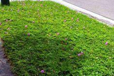 Jasmine jasmine plant and plants on pinterest for Less maintenance plants