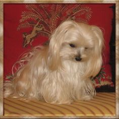 1000 images about angel my yorkie maltese mix on pinterest 12. Black Bedroom Furniture Sets. Home Design Ideas