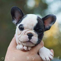 Baby Malte, the French Bulldog