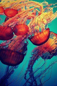 fond marin, méduses splendides comme princesses rouges