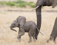 BABY ELEPHANT PHOTO 8 X 10 Print  Baby Animal by SuziEszterhas, $25.00
