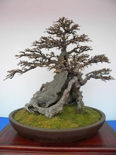 Bonsai tree - one and only decorative tree with real vale