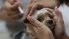 Suman un millón 300 vacunas contra la rabia aplicadas a perros y gatos en CDMX