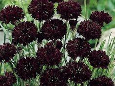 Bachelor's Button Black Ball  garden seeds - annual flower seeds.