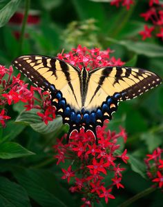 ~~Swallowtail in the Red Pentas © by GardenJoy~~