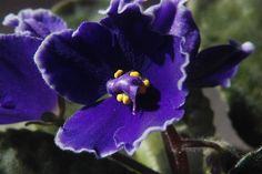 Close-up of an African Violet