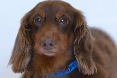★11/4/14 SL★Adopt Dusty, a lovely 7 years 10 months Dog available for adoption at Petango.com. Dusty is a Dachshund, Standard Long Haired and is available at the National Mill Dog Rescue in Colorado Springs, CO. milldogrescue.org...#adoptdontshop#rescue