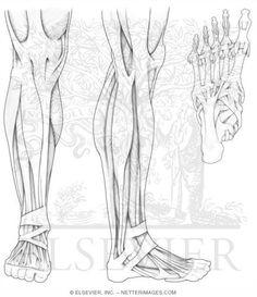 Muscular Anatomy … | Pinteres…