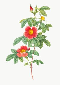 Rose Illustration, Botanical Illustration, Blooming Apples, Rose Trees, Rose Flowers, Botanical Art, Botanical Posters, Botanical Drawings, Botanical Flowers