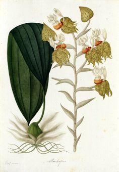 Stanhopea. Proyecto de digitalización de los dibujos de la Real Expedición Botánica del Nuevo Reino de Granada (1783-1816), dirigida por José Celestino Mutis: www.rjb.csic.es/icones/mutis. Real Jardín Botánico-CSIC.
