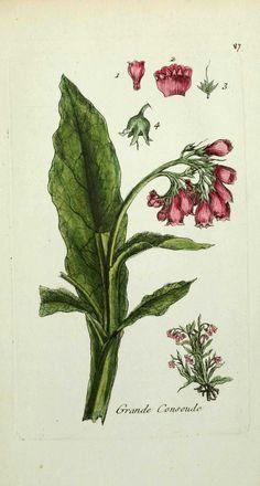 grande consoude - symphitum officinale ( oreille d ane, lan