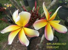 """Starlight"" Big 4"" blooms. Backs of petals have a red band. Lemon/Citrus fragrance. Medium growing tree."