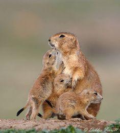 Prairie dog family.......