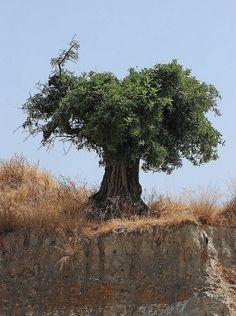 Carob tree • Ceratonia siliqua